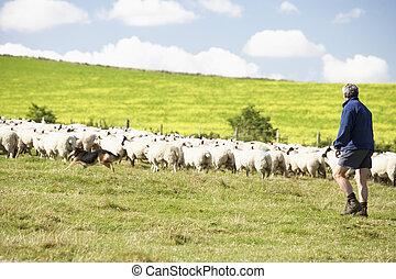 fattoria pecora, lavorante, due, gregge