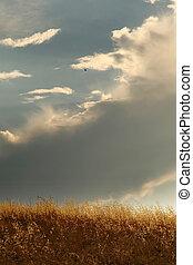 fatua., sky., avena, oats., 曇り, 野生