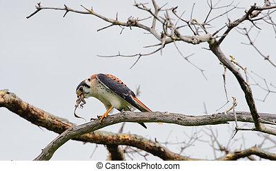 faucon, assied, lézard, mange, branche, jeune