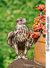 faucon, cherrug), (falco, saker