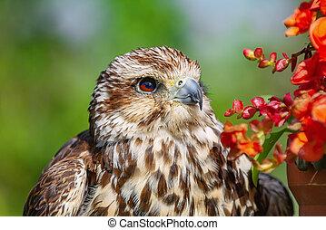 faucon, cherrug), saker, (falco