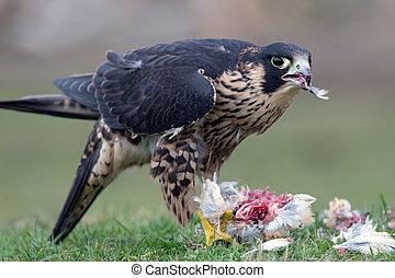 faucon, peregrine, (falco, peregrinus)