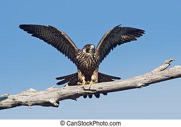 faucon, peregrinus, peregrine, (falco, anatum)