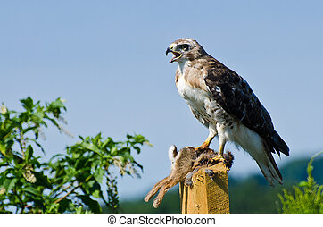 faucon rouge-coupé queue, proie, capturé