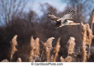 faucon rouge-coupé queue, proie, plongée