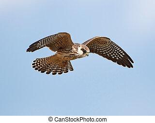 faucon, rouge-payé, vespertinus), (falco