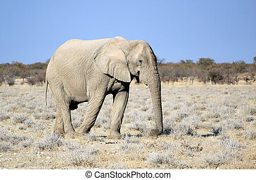 fauna, afrikaan, stier olifants, etosha, reserveren