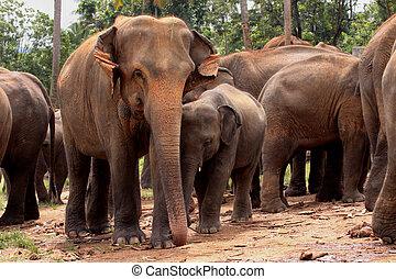 fauna, asiático, elefantes