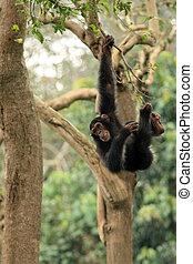 fauna, -, chimps, africano