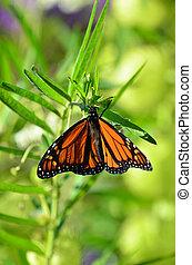 fauna, dieren, -butterflies