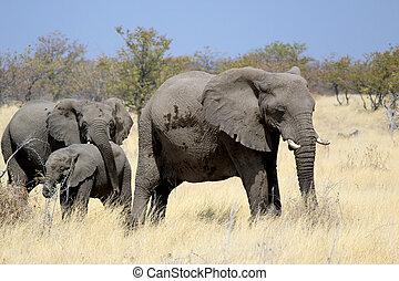 fauna, elefant, reserveren, etosha, afrikaan, stier