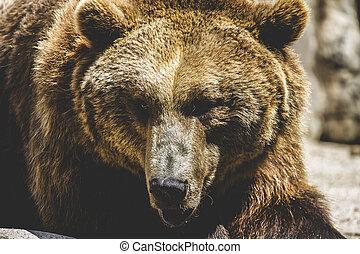 fauna, espanhol, poderoso, urso marrom, enorme, e, forte, selvagem, ani