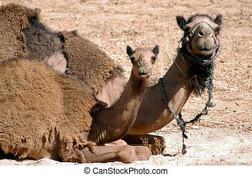 fauna, fotografias, -, camelo árabe