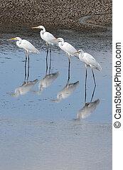 fauna, fotografias, -, egret pequeno
