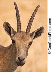 fauna, fotografias, -, ibex