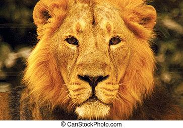 fauna, fotografias, -, leão