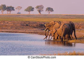 fauna, groep, grens, olifanten, nationale, afrika., water...