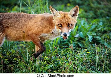 fauna, natural, habitat, raposa, -, tiro, seu, vermelho