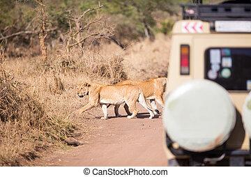 fauna, safari, turistas, ligado, jogo, conduzir
