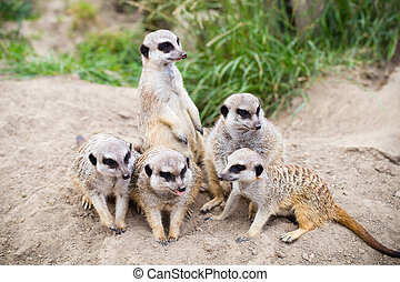 fauna, suricata, suricatta, meerkat, ook, suricate., bekend, animal.