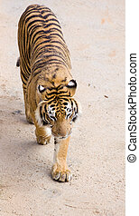 fauna, tiger