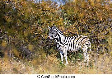 fauna, zebra, namibia, africa, cespuglio