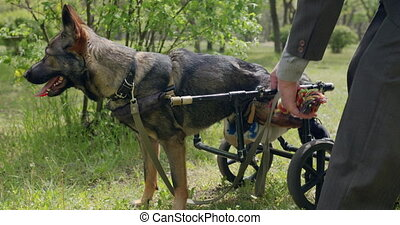 fauteuil roulant, chien, animals.