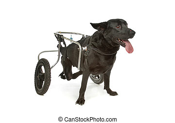 fauteuil roulant, chien