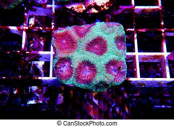 Favia pinapple small colony LPS coral