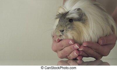 Favorite guinea pig breed Coronet cavy trusting in good...