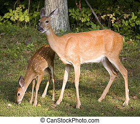 Fawn and doe - Whitetail deer fawn sniffing the ground with ...