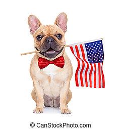 fawn french bulldog - french bulldog holding a flag of usa...