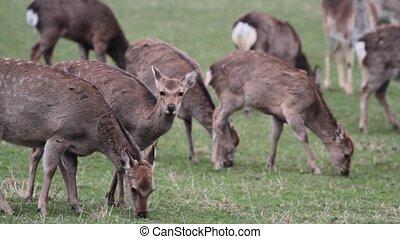 Fawn herd