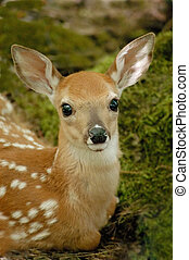 Fawn - Headshot of fawn resting