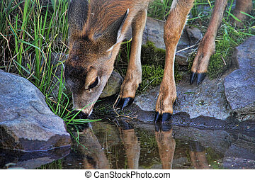 Fawn Reflections - Young fawn reflected in still waters of...