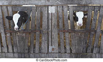 fazenda, agricultura, vaca leite, bovino