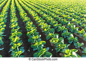 fazenda, alface, verde