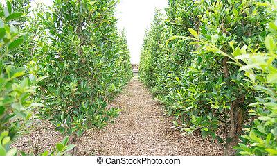 fazenda, bush, planta