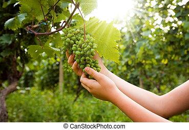 fazenda, colheita, uvas