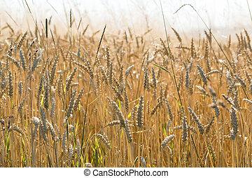 fazenda, dourado, trigal