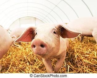 fazenda, feno, porca, porquinho, jovem