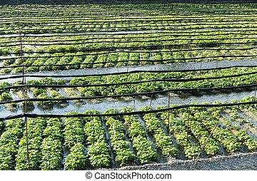 fazenda, japão, verde, wasabi