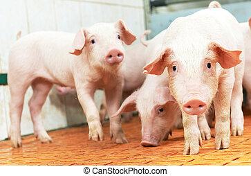 fazenda, jovem, porquinho, porca