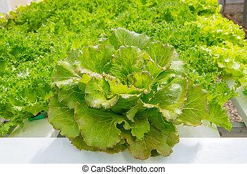 fazenda, legumes, planta, hydroponics