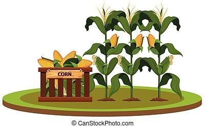 fazenda, milho, orgânica, isolado