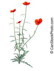 fazendo, papoula, flores brancas, vermelho, 3d