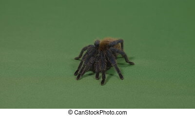 Fearful tarantula spider adopting a defensive position on...