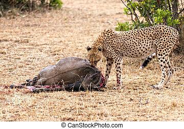 feasting cheetah