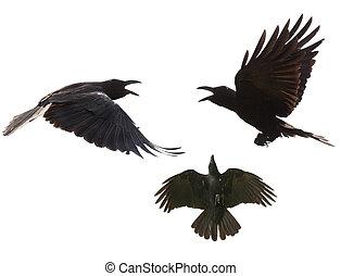 feathe, visa, kråka, flygning, bland, specificera, svart, ...