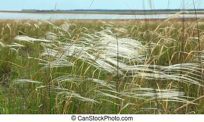 Feather grass. - Feather grass waving in the wind.